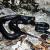 Black Rat Snake Jigsaw