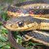 Common Garter Snake Jigsaw 2