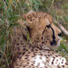 Jigsaw: Cheetah