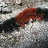 Woolly Bear Jigsaw